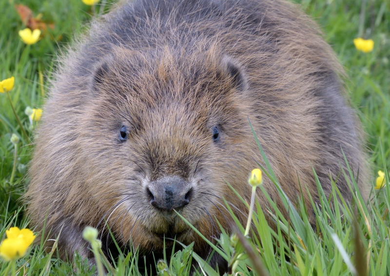 Cheshire Wildlife Trust are bringing beavers back after 400 years!