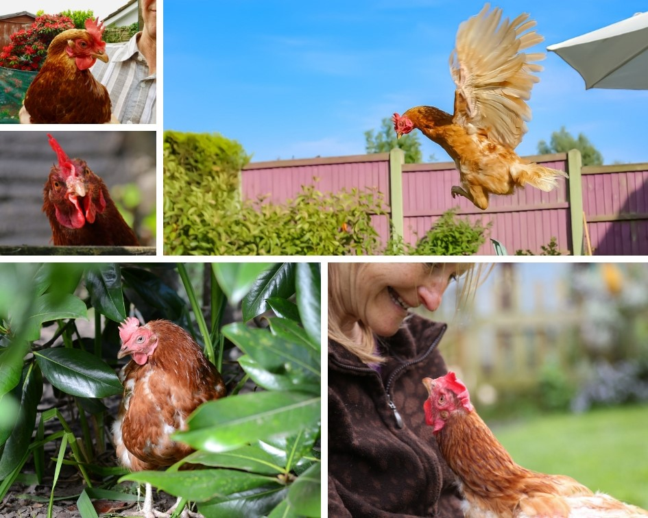 Help make 2019 another record-breaking year for hens in Cheshire